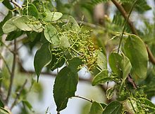 Cepillado Salvatora Persica